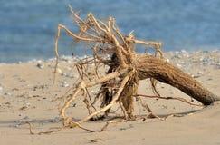 Root ball. On the beach Stock Photos