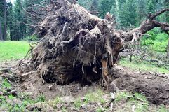 Root Ball of storm damaged tree stock image