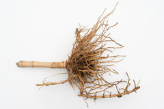 Root of Bamboo Stock Image