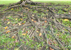 Root of banyan Stock Image