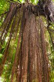 Root  banyan Stock Photo