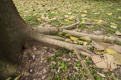 Root of banyan Royalty Free Stock Image