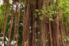 Root  banyan Stock Photos