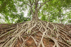 Root of banyan tree. The roots of the banyan tree, which appeared on the ground royalty free stock image