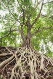 Root of banyan tree. Royalty Free Stock Images