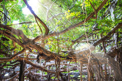 Root of banyan tree Royalty Free Stock Photography