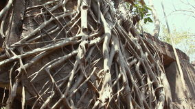 Root of banyan tree stock footage