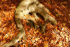 Root of beech. Brown fallen leaves around the root of beech stock photo