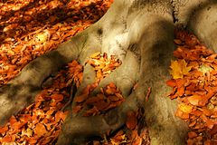 Root of beech. Brown fallen leaves around the root of beech royalty free stock image