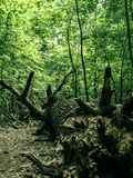 The root of a big fallen tree stock photography
