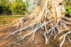 Root big tree. Big tree in the National park Stock Images
