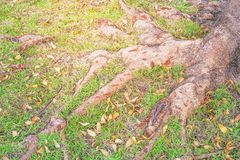 Root of big tree and green grass Royalty Free Stock Photo