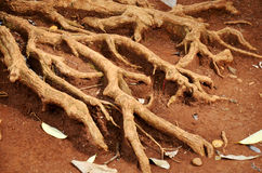Root of big tree. On ground at outdoor Stock Photography