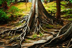 The root. The big tree root in National-park, Kanchanaburi-province, Thailand Royalty Free Stock Images
