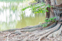 Root of big tree, planted on the pond edge. Royalty Free Stock Photo