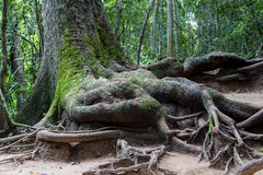 Root of big tree. The root of big tree in tropical rainy forest Stock Photo