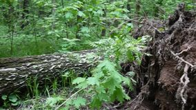 The root of the birch tree outside after the storm. Horisontal panorama of motion with steadicam. The root of the birch tree outside after the storm. Panorama stock video