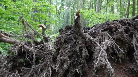 The root of the birch tree outside after the storm. Panorama of low motion with steadicam. The root of the birch tree outside after the storm. Panorama. Video stock footage