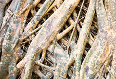 Root of bodh tree Royalty Free Stock Image