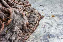 Root of the Bodhi tree. Royalty Free Stock Photography