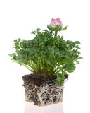 Root bound plant, flower, isolated on white. Ranunculus flower, root bound. As plants grown in containers mature, their developing roots eventually will run out royalty free stock photography