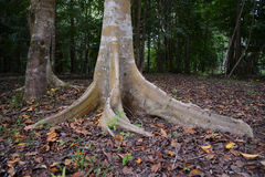 The root buttress of a tree in Australia. The large root buttress of a tree in Australia helps to stabilise the tree in high winds Stock Photo