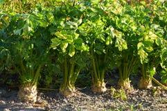 Root celery growing Stock Image