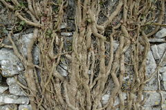 Root of common ivy Stock Photography