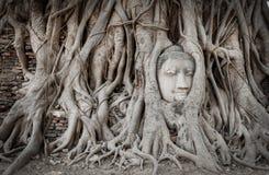 Root Covers Head Of Buddha Statue Stock Photo