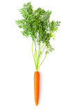 Root-crop of carrot with green tops Royalty Free Stock Photos