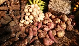 Root crops agriculture, sweet potato Philippines Royalty Free Stock Photography
