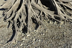Root of a Dead Tree. Royalty Free Stock Image