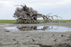 Root of a dead tree. Skeletal carcase of dead tree due to drought Royalty Free Stock Photo