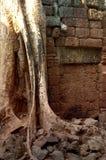 Root down wall. The natural environment growing down the ruins of angkor wat siem reap Stock Image