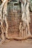 Root drapped wall. The natural environment taking over wall of angkor wat siem reap Stock Image
