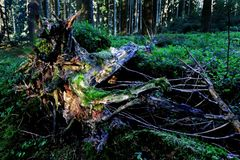 The root of a fall tree in the forest Stock Image