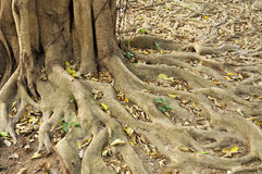 Root Ficus annulata BL. Royalty Free Stock Photos
