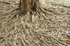 Root Ficus annulata BL. Royalty Free Stock Images