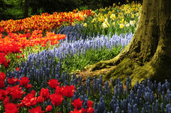 Root and flowers. Road of flower, flower and root, tulip flowers Stock Photos