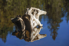 Root in the form of a mythical figure in the lake Mummelsee Royalty Free Stock Images