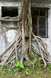 Root of giant tree Stock Photos