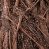 Root of giant tree Royalty Free Stock Images