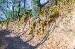 Root gorge near Kazimierz Dolny. Root gorge near Kazimierz Dolny in Poland Stock Photos