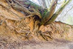 Root gorge near Kazimierz Dolny. Root gorge near Kazimierz Dolny in Poland Royalty Free Stock Photos
