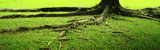Root and green grass Stock Photography