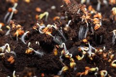 Root hair. Cress seeds taking roots in the soil Royalty Free Stock Photography