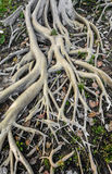 Root of high tree Royalty Free Stock Images