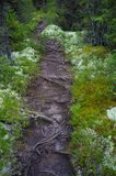 Root-laden path through forest Stock Images