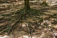 The root of a large tree fluttering on the ground. unusual plant roots. nature stock photos