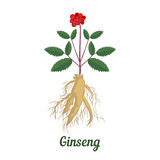 Root and leaves panax ginseng. Stock Photo